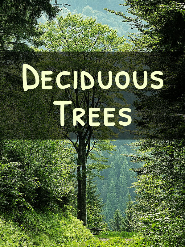 Miniature Deciduous Trees